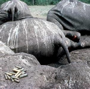 Poached elephants in Eastern Africa park